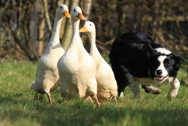 sheepdog display and duck herding display