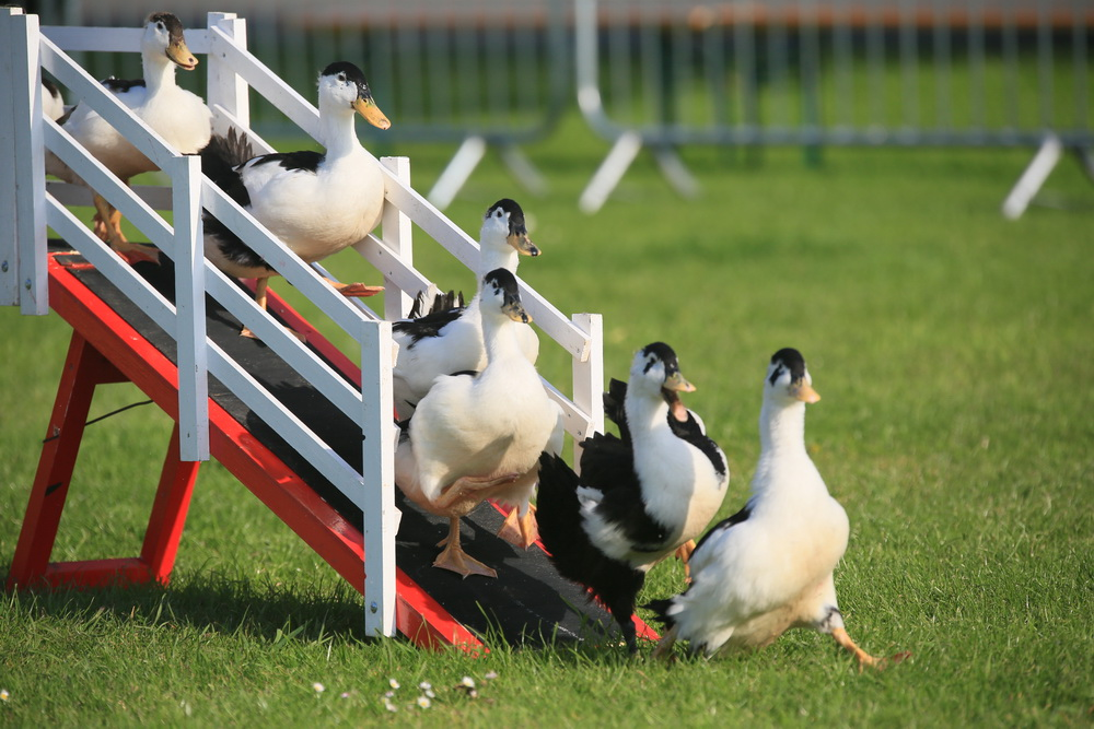 ducks going over bridge in sheepdog display